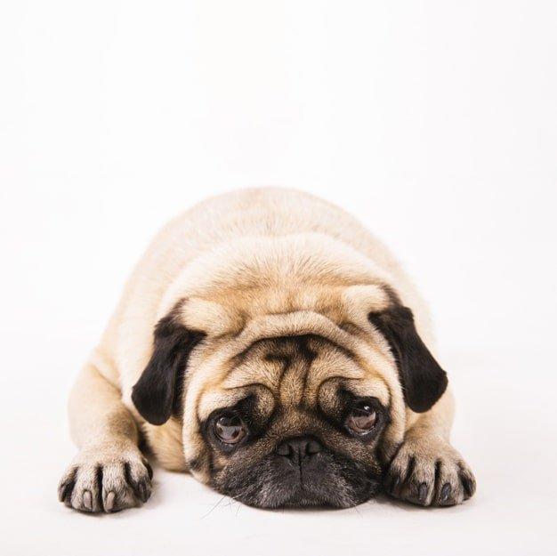 Alergia em Pug