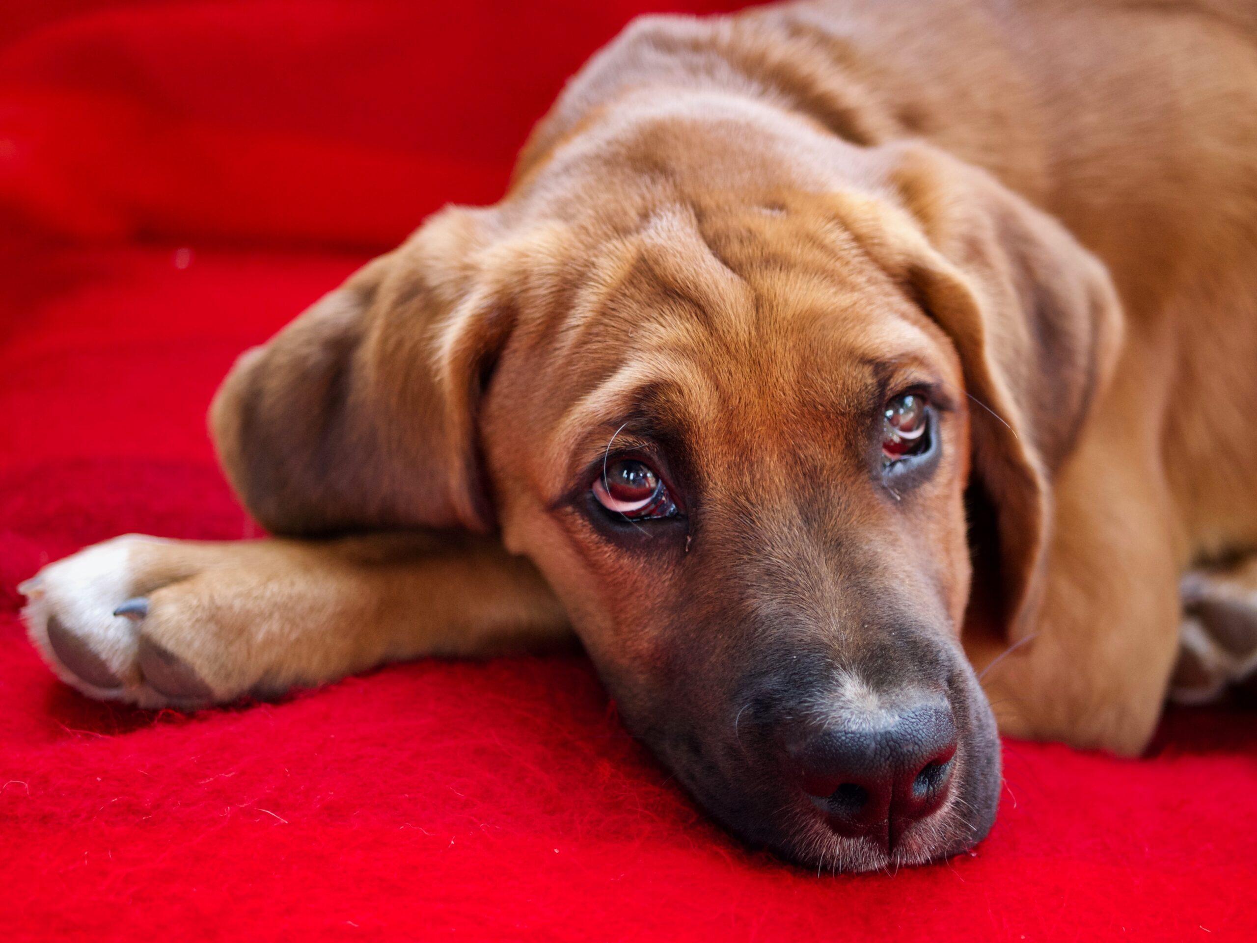 Cachorro com alergia