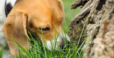 Por que cachorro come grama?