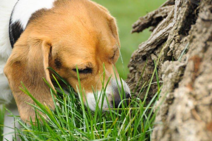 cachorro come grama