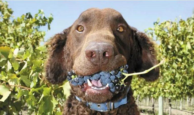 cachorro comeu uva
