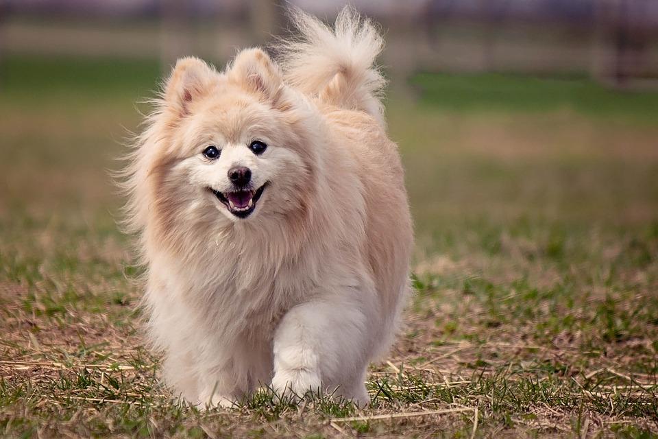 raça de cachorro certa para seu signo Pomerânia