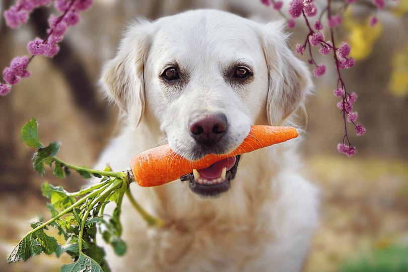 Cachorro pode comer cenoura
