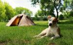 acampar com cães
