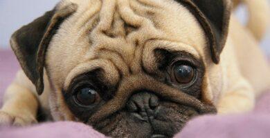 12 raças de cachorros fofos e pequenos