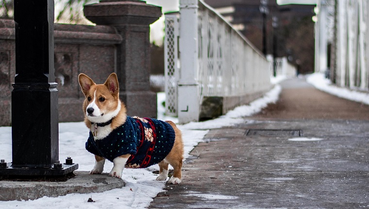 cães de neve