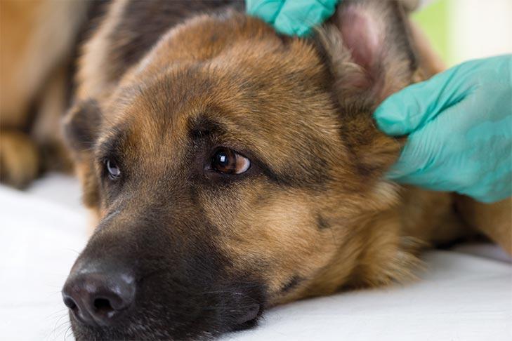 como limpar as orelhas de um cachorro