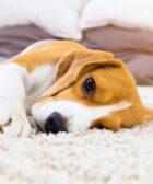 analgésico para cães