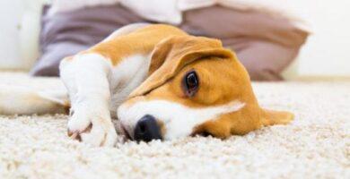 Analgésico para cães: o que dar a um cão para dor?