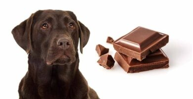 Meu cachorro comeu chocolate, o que fazer?