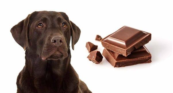 cachorro comeu chocolate