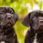 nomes de cane corso