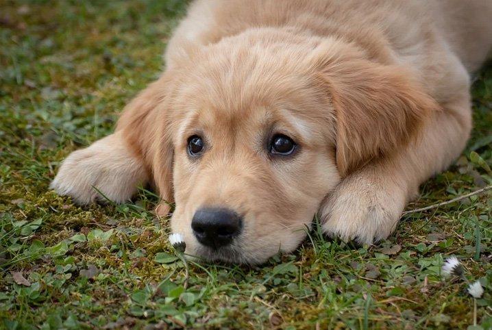 prolapso retal em cães
