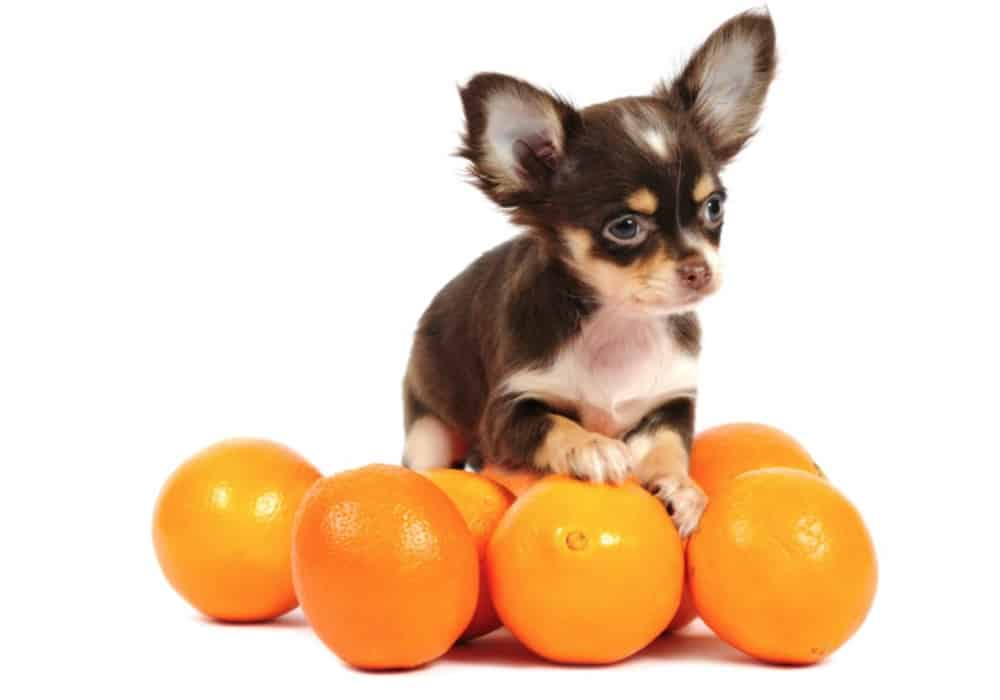 cachorro pode comer laranja