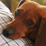 doença de cushing em cães