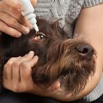 úlceras de córnea em cães