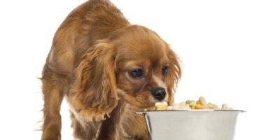Melhores rações antialérgicas para cães